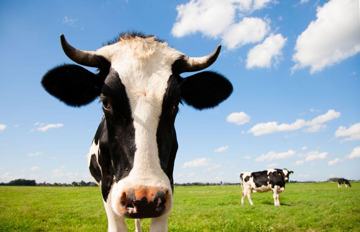 Koeien - melkveehouderij - Privacyreglement Kornet Beton Balk B.V.